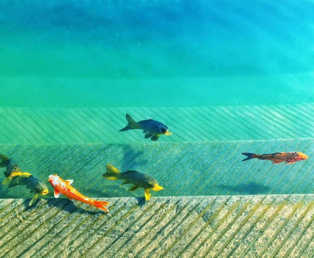 a photo of coy fish swimming in a pool